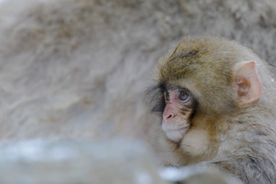 ニホンザルの小猿の写真素材 [FYI03132249]