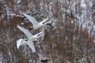 3羽の群れで飛ぶ白鳥の写真素材 [FYI03132251]