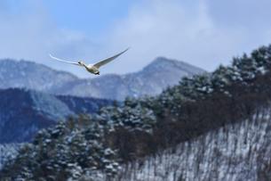 冬の白鳥の写真素材 [FYI03132252]