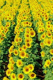明野サンフラワーフェスタのひまわり畑の写真素材 [FYI03132254]