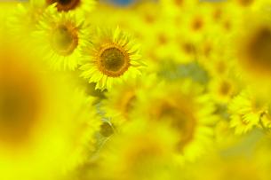 ヒマワリ畑の向日葵たちの写真素材 [FYI03132255]