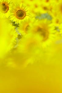 向日葵畑のヒマワリの写真素材 [FYI03132256]
