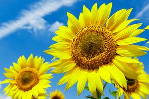 向日葵の花の写真素材 [FYI03132257]
