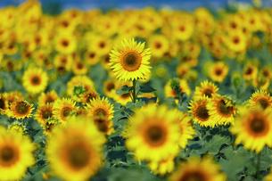 ひまわり畑の向日葵の写真素材 [FYI03132258]