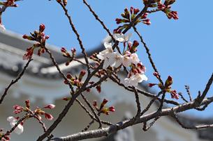 尼崎城と桜の写真素材 [FYI03132474]
