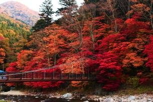 紅のつり橋/那須塩原の紅葉名所の写真素材 [FYI03132605]