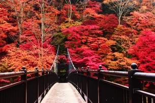 紅のつり橋/那須塩原の紅葉名所の写真素材 [FYI03132608]