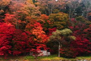 紅のつり橋/那須塩原の紅葉名所の写真素材 [FYI03132615]