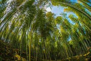 京都・嵐山の竹林の写真素材 [FYI03132669]