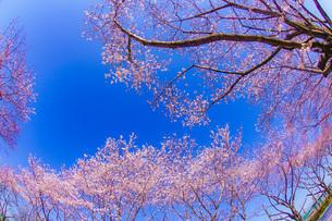 満開の桜と晴天の青空(調布飛行場)の写真素材 [FYI03132725]