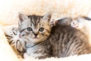 かわいい仔猫の写真素材 [FYI03132731]