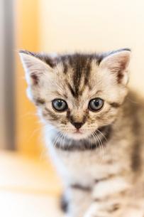 まんまる仔猫の写真素材 [FYI03132736]