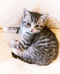 かわいい仔猫の写真素材 [FYI03132739]