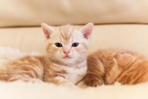 スコティッシュフォールドの仔猫の写真素材 [FYI03132742]