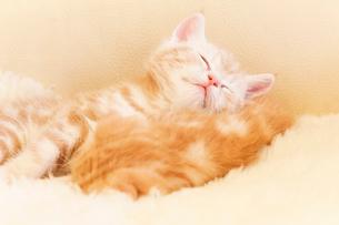 仔猫のお昼寝の写真素材 [FYI03132746]