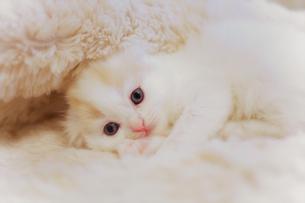 かわいい仔猫の写真素材 [FYI03132748]