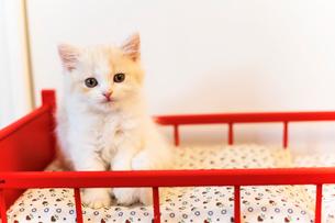 美人猫の写真素材 [FYI03132751]