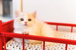美人猫の写真素材 [FYI03132753]