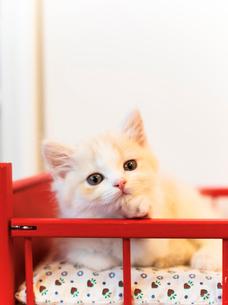 美人猫の写真素材 [FYI03132754]