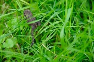 草むらの中の蛙の写真素材 [FYI03132764]