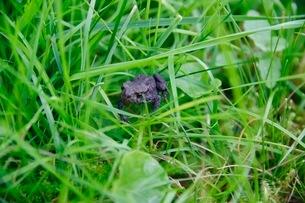 草むらの中の蛙の写真素材 [FYI03132765]