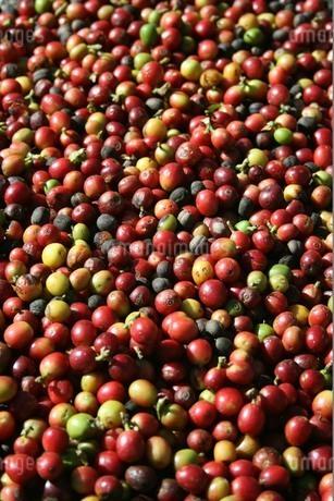 ブラジルで収穫されたコーヒーの実の写真素材 [FYI03132791]