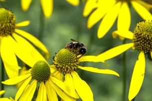 オオハンゴンソウと蜂の写真素材 [FYI03132798]
