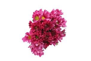菊の花束の写真素材 [FYI03132801]