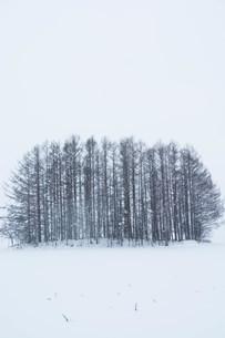 雪の丘のカラマツ林 美瑛町の写真素材 [FYI03132863]