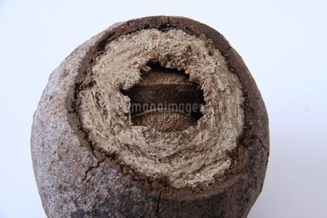 ブラジルナッツの果実と種子の写真素材 [FYI03132953]