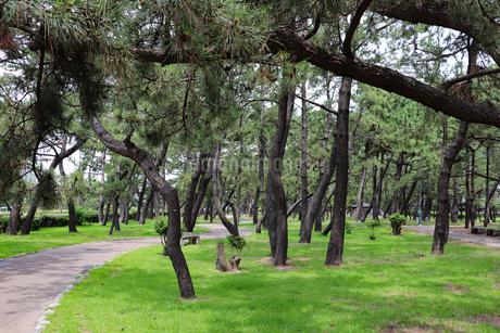 松林の中の遊歩道の写真素材 [FYI03132978]