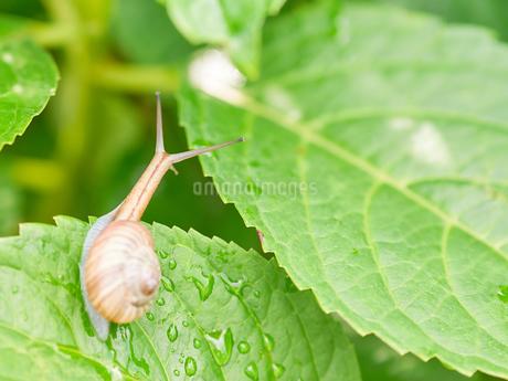 でんでん虫 アジサイの葉の写真素材 [FYI03133413]