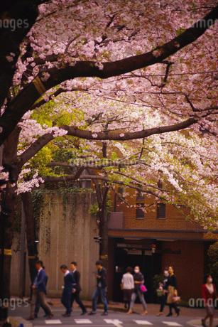 桜の中を歩く人の写真素材 [FYI03133615]
