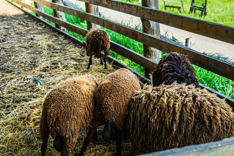 羊(ひつじ)のイメージの写真素材 [FYI03133616]