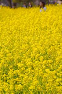 菜の花のイメージの写真素材 [FYI03133638]