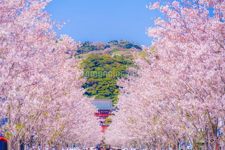 満開の桜並木道(鎌倉の参道若宮大路)の写真素材 [FYI03133657]