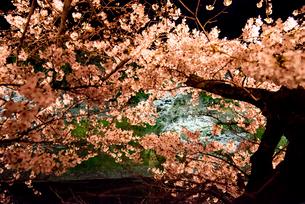 千鳥ヶ淵ライトアップ満開の桜の写真素材 [FYI03133831]