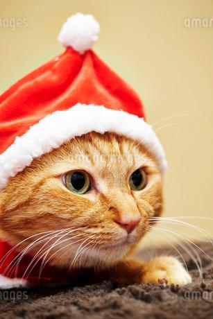 ネコ クリスマス衣装の写真素材 [FYI03133946]