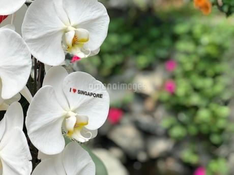 シンガポールを旅して出会った美しい花の写真素材 [FYI03134184]