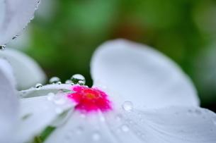 花に付いた雫の写真素材 [FYI03134185]