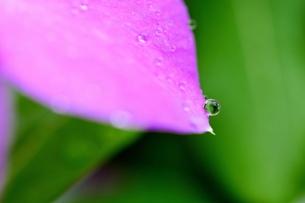花弁の先に付いた小さな雫の写真素材 [FYI03134187]