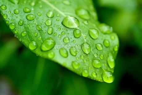 緑の葉に付いた雫の写真素材 [FYI03134193]