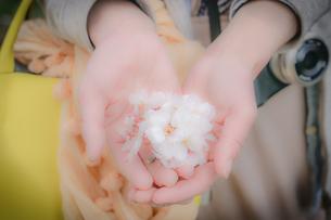 桜の花を手に乗せる女性の写真素材 [FYI03134230]