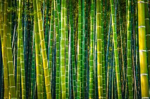 京都・嵐山の竹林(ハイコントラスト)の写真素材 [FYI03134342]