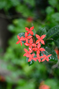 雨粒が残るサンダンカの花の写真素材 [FYI03134600]