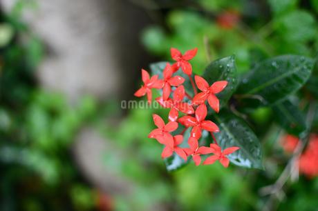 雨粒が残るサンダンカの花の写真素材 [FYI03134601]
