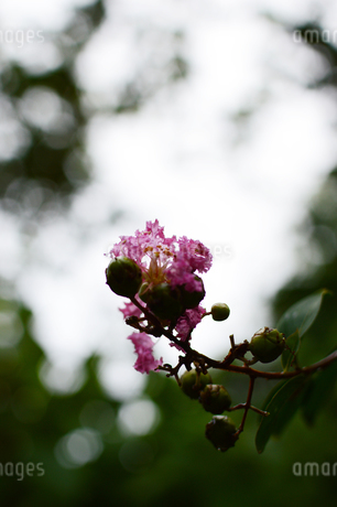 雨粒が残るサルスベリの花の写真素材 [FYI03134607]