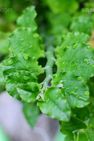 雨粒が残る小さな葉の写真素材 [FYI03134608]