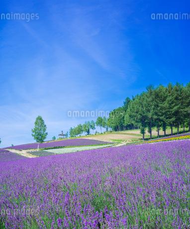 北海道 自然 風景   満開の花畑と青空の写真素材 [FYI03134623]