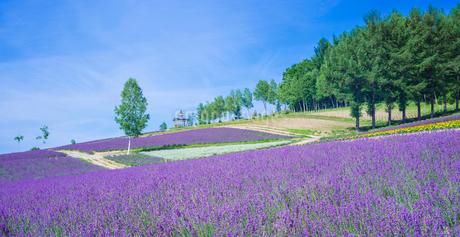 北海道 自然 風景 パノラマ   満開の花畑と青空の写真素材 [FYI03134624]